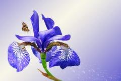 Μπλε ίριδα και πεταλούδα Στοκ Εικόνες