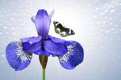 Μπλε ίριδα και πεταλούδα Στοκ εικόνα με δικαίωμα ελεύθερης χρήσης