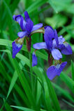 μπλε ίριδες Στοκ Εικόνα
