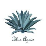 Μπλε αγαύη Tequila Ρεαλιστική διανυσματική απεικόνιση για την ετικέτα, αφίσα, Ιστός Στοκ Φωτογραφία