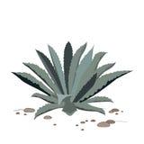Μπλε αγαύη Tequila Ρεαλιστική διανυσματική απεικόνιση για την ετικέτα, αφίσα, Ιστός Στοκ Εικόνες