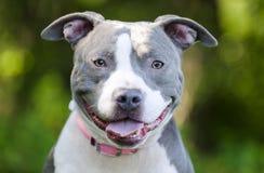 Μπλε αμερικανικό σκυλί τεριέ Pitbull Στοκ φωτογραφία με δικαίωμα ελεύθερης χρήσης