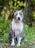 Μπλε αμερικανικό σκυλί τεριέ Pitbull Στοκ Φωτογραφίες