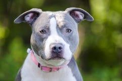 Μπλε αμερικανικό σκυλί τεριέ Pitbull Στοκ Εικόνες