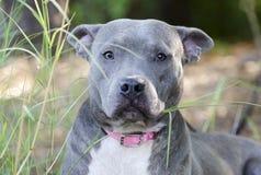 Μπλε αμερικανικό σκυλί τεριέ Pitbull Στοκ Εικόνα