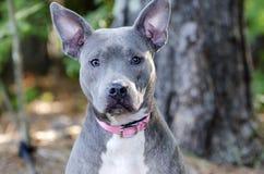 Μπλε αμερικανικό σκυλί τεριέ Pitbull Στοκ φωτογραφίες με δικαίωμα ελεύθερης χρήσης