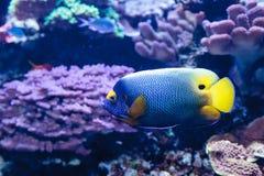 Μπλε αντιμέτωπο angelfish Pomacanthus xanthometopon Στοκ Φωτογραφία