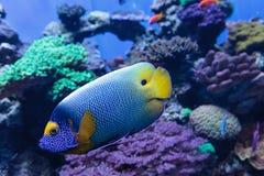 Μπλε αντιμέτωπο angelfish Pomacanthus xanthometopon Στοκ φωτογραφία με δικαίωμα ελεύθερης χρήσης