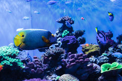 Μπλε αντιμέτωπο angelfish Pomacanthus xanthometopon Στοκ Φωτογραφίες