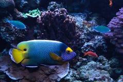 Μπλε αντιμέτωπο angelfish Pomacanthus xanthometopon Στοκ Εικόνες
