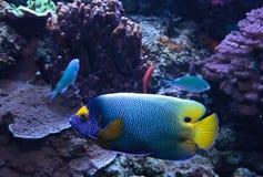Μπλε αντιμέτωπο angelfish Pomacanthus xanthometopon Στοκ εικόνες με δικαίωμα ελεύθερης χρήσης