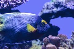Μπλε αντιμέτωπο angelfish Pomacanthus xanthometopon Στοκ Εικόνα