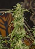 Μπλε αυτόματη mazar ποικιλία της ιατρικής μαριχουάνα Στοκ εικόνες με δικαίωμα ελεύθερης χρήσης