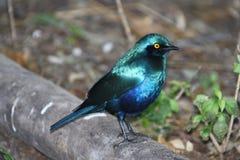 Μπλε αφρικανικό ψαρόνι, πορφυρό πουλί Στοκ Εικόνα