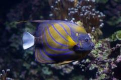 Μπλε δαχτυλίδι Angelfish (annularis Pomacanthus) Στοκ Φωτογραφία