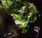Μπλε βάτραχος βελών δηλητήριων φραουλών Στοκ Φωτογραφίες