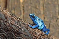 Μπλε βάτραχος δηλητήριο-βελών Στοκ Εικόνες
