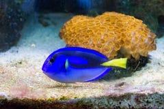 Μπλε βασιλοπρεπής γεύση Στοκ εικόνες με δικαίωμα ελεύθερης χρήσης