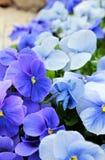 Μπλε βιολέτες Στοκ φωτογραφία με δικαίωμα ελεύθερης χρήσης