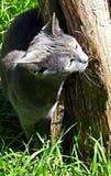 Μπλε γάτα που τρίβει το δέντρο Στοκ εικόνα με δικαίωμα ελεύθερης χρήσης