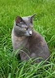 μπλε γάτα Στοκ Εικόνες