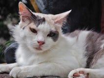 μπλε γάτα eyed Στοκ φωτογραφίες με δικαίωμα ελεύθερης χρήσης