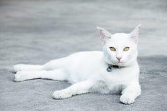 μπλε γάτα eyed Στοκ Εικόνα