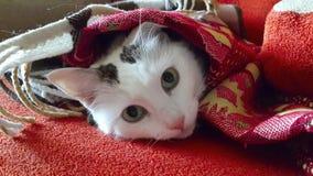 μπλε γάτα eyed Στοκ εικόνα με δικαίωμα ελεύθερης χρήσης
