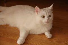 μπλε γάτα eyed Στοκ Εικόνες