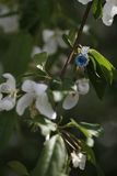 Μπλε γαμήλιο δαχτυλίδι αρραβώνων διαμαντιών στην άνθιση δέντρων λουλουδιών Στοκ Φωτογραφία
