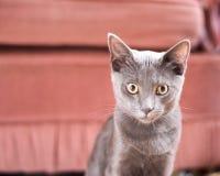 Μπλε γατάκι Korat Στοκ Εικόνα