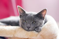 Μπλε γατάκι Korat Στοκ Εικόνες