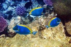 Μπλε γεύση σκονών στα κοράλλια. Υποβρύχιο τοπίο σε μια ηλιόλουστη ημέρα Στοκ εικόνες με δικαίωμα ελεύθερης χρήσης