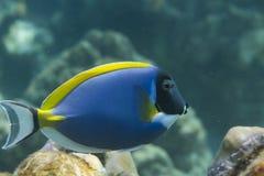 Μπλε γεύση σκονών (Acanthurus leucosternon) στη θάλασσα Andaman, Thail Στοκ εικόνες με δικαίωμα ελεύθερης χρήσης