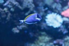 Μπλε γεύση σκονών, Acanthurus leucosternon Στοκ Εικόνα