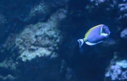 Μπλε γεύση σκονών, Acanthurus leucosternon Στοκ Εικόνες
