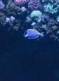 Μπλε γεύση σκονών, Acanthurus leucosternon Στοκ εικόνες με δικαίωμα ελεύθερης χρήσης