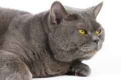 Μπλε-γκρίζα γάτα με τα κίτρινα μάτια Στοκ εικόνα με δικαίωμα ελεύθερης χρήσης