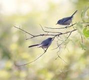 Μπλε-γκρίζο Gnatcatchers Στοκ εικόνα με δικαίωμα ελεύθερης χρήσης