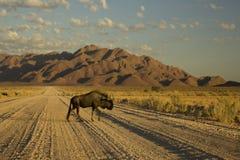 Μπλε εθνικό πάρκο Ναμίμπια Wildebeest namib-Naukluft Στοκ Εικόνες