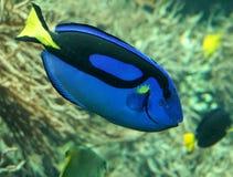Μπλε εξωτικά τροπικά ψάρια Στοκ εικόνα με δικαίωμα ελεύθερης χρήσης