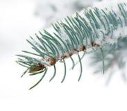 Μπλε ερυθρελάτες κλάδων κάτω από το χιόνι Στοκ εικόνες με δικαίωμα ελεύθερης χρήσης