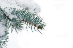 Μπλε ερυθρελάτες κλάδων κάτω από το χιόνι Στοκ Εικόνες