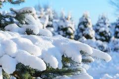 μπλε ερυθρελάτες χιονιού έλατου Στοκ φωτογραφία με δικαίωμα ελεύθερης χρήσης