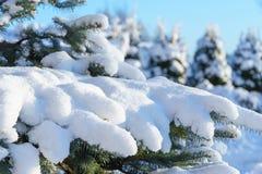 μπλε ερυθρελάτες χιονιού έλατου Στοκ Φωτογραφίες