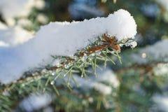μπλε ερυθρελάτες χιονιού έλατου Στοκ Εικόνες