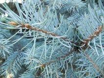 μπλε ερυθρελάτες Στοκ Φωτογραφία