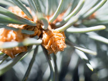 Μπλε ερυθρελάτες - Picea pungens - οφθαλμός Στοκ εικόνα με δικαίωμα ελεύθερης χρήσης