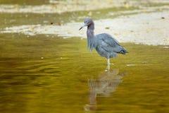 μπλε ερωδιός λίγο wading ύδωρ Στοκ εικόνα με δικαίωμα ελεύθερης χρήσης