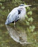 μπλε ερωδιός Στοκ φωτογραφία με δικαίωμα ελεύθερης χρήσης